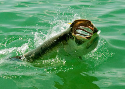 tarpon-fishing-everglades-city